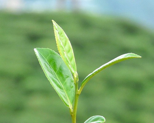 Darjeeling-blad