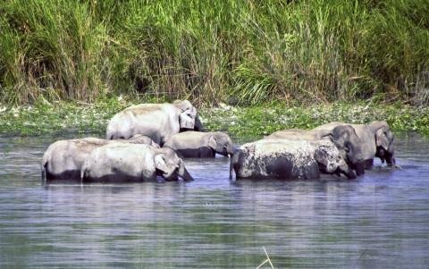 Badande elefanter i Kaziranga
