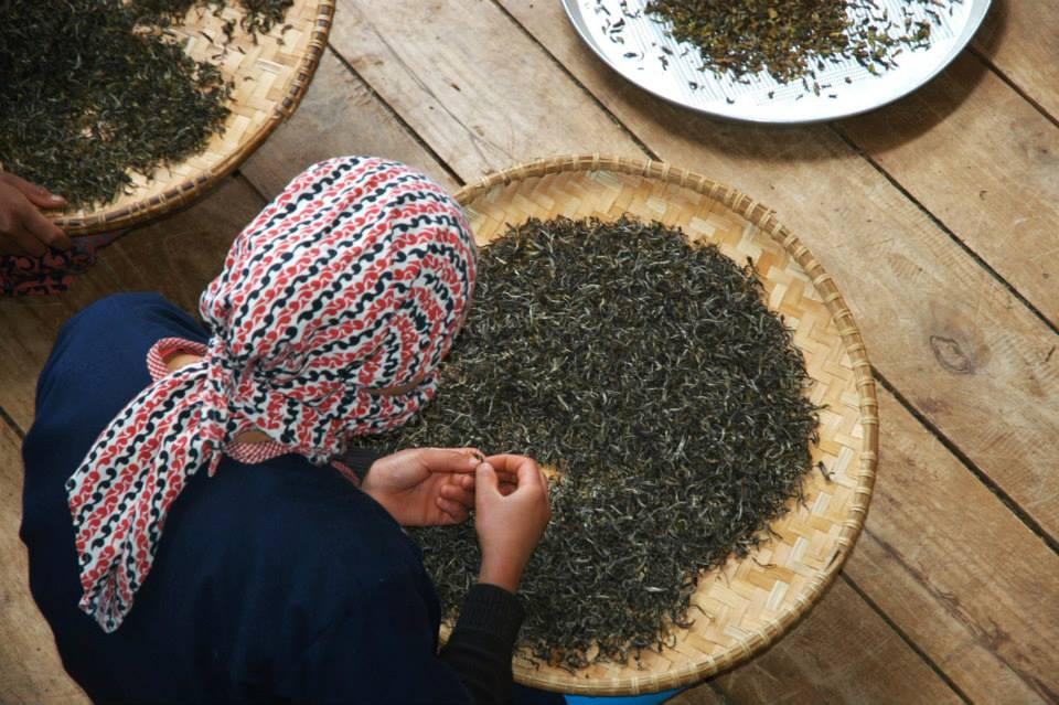Kvinna sorteriar av teblad på Jun Chiyabari Tea Garden i Nepal.