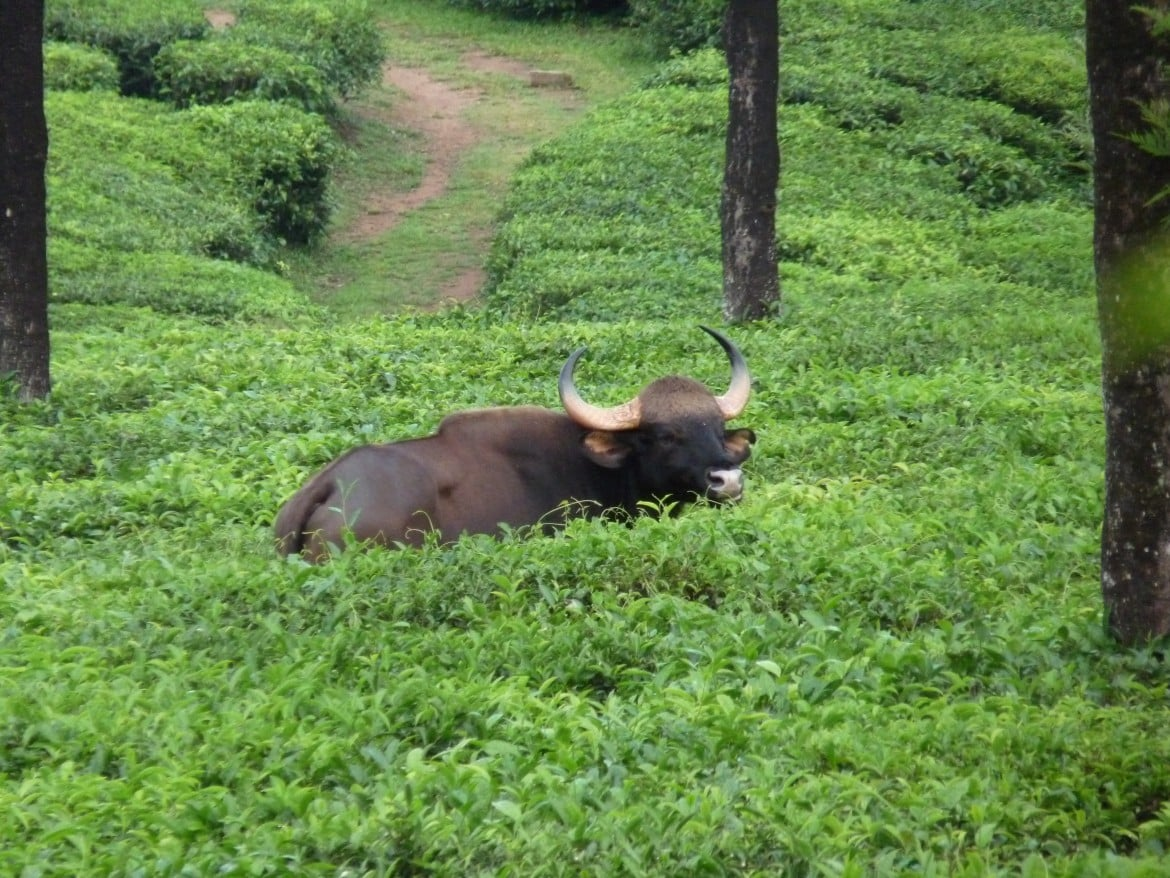 South India: Gaur in Valparai