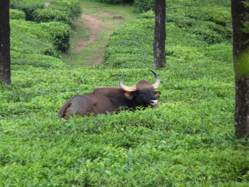 South India: Gaur in Valparai Foto: Prithvi1989 (Creative Commons Attribution-ShareAlike 3.0).
