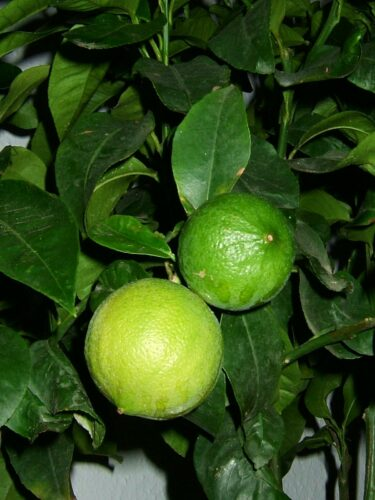 bergamott citrus bergamia foto klaus reger cc by sa 30