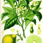 Earl Grey:s smaksättare Bergamott, bild från Köhlers Medizinal Pflanzen