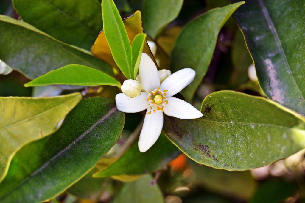 Jasmin-blomma