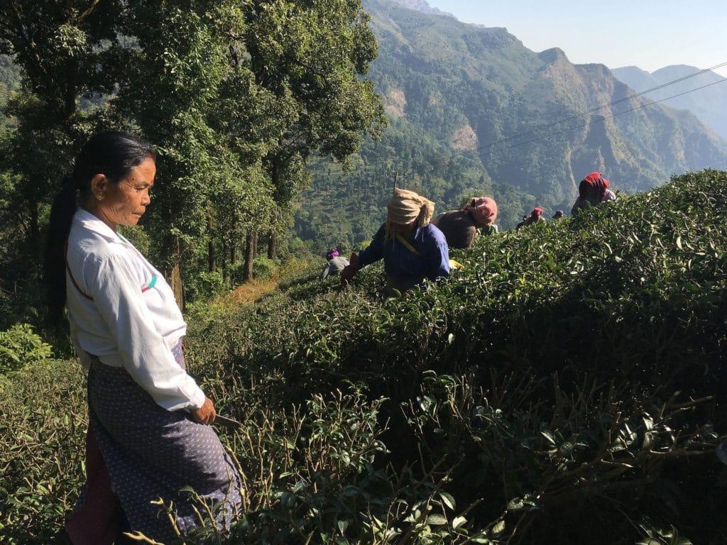 Arbetande kvinnor Makaibari Darjeeling