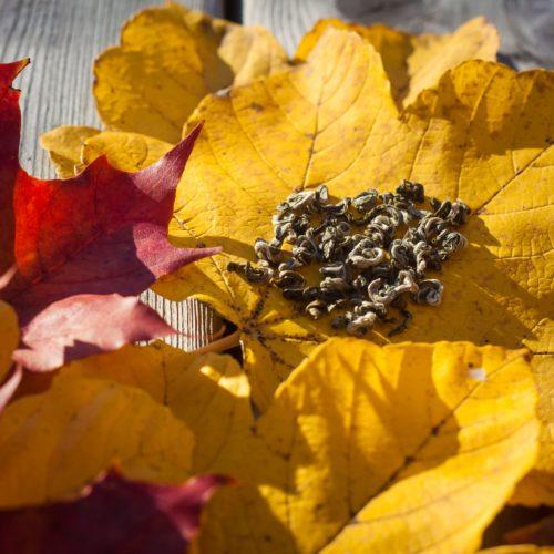 Höstlöv med Nepal Pearls grönt te