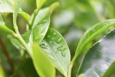 Teblad med vattendroppe