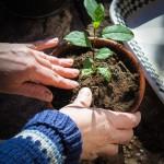 teplantor omplantering 3