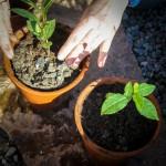 teplantor omplantering 4