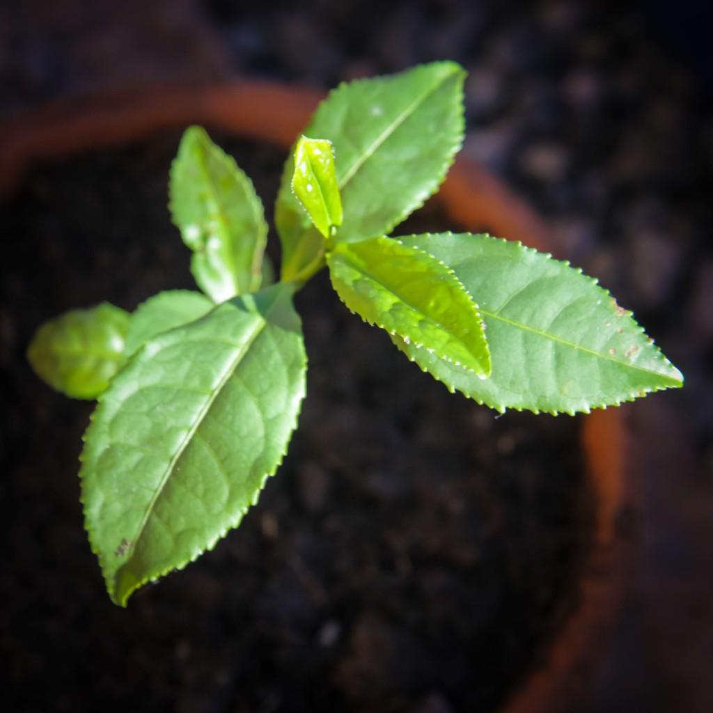 teplantor omplantering 5