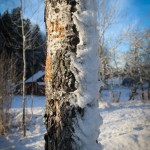 trädstam snö Pekoe