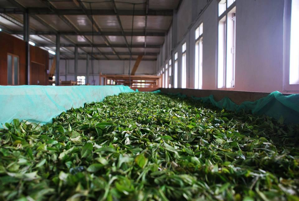 Vissning av te. Foto: Jun Chiyabari Tea Garden